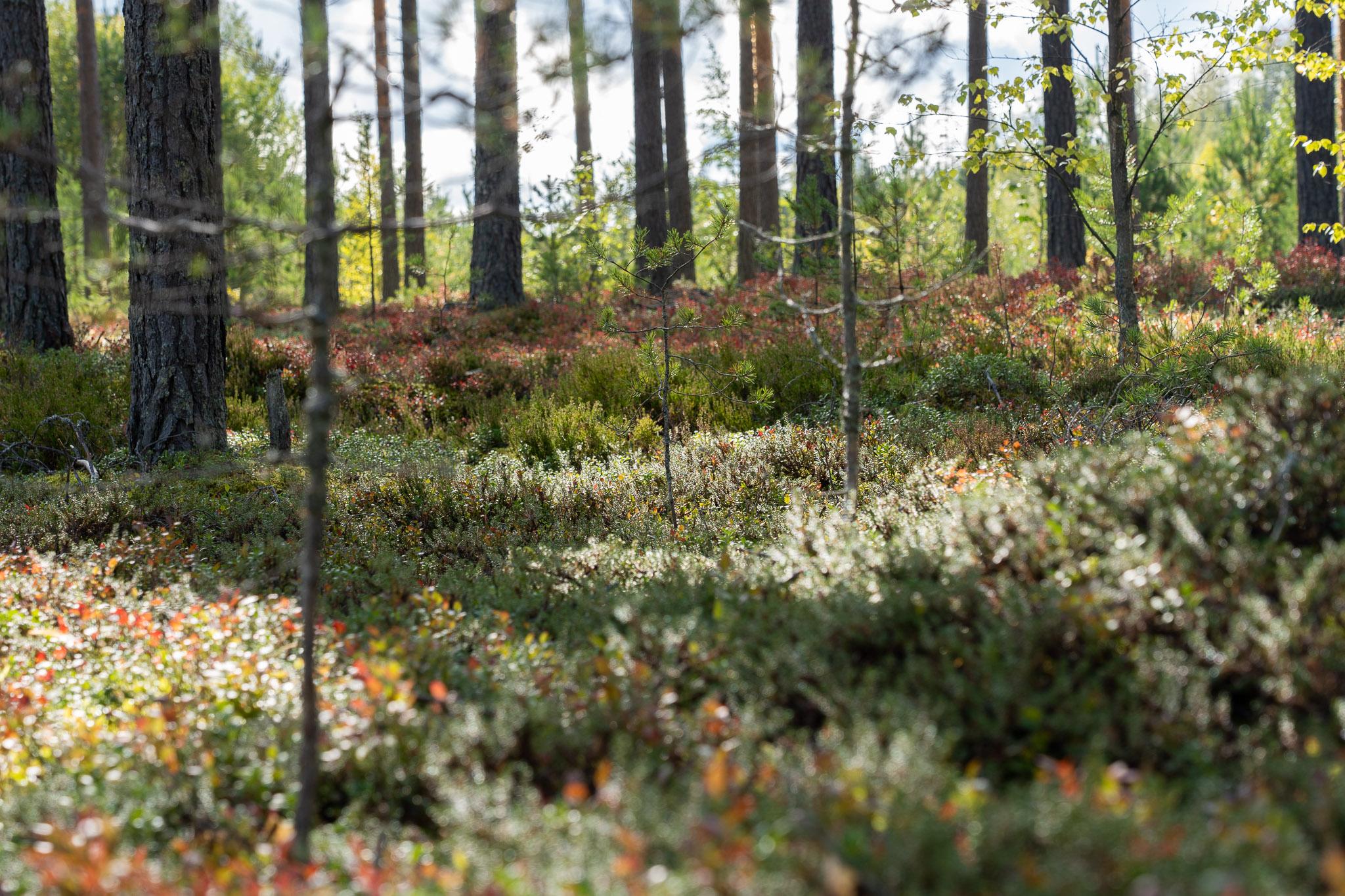 Waldboden voller Moos und Heidelbeersträucher