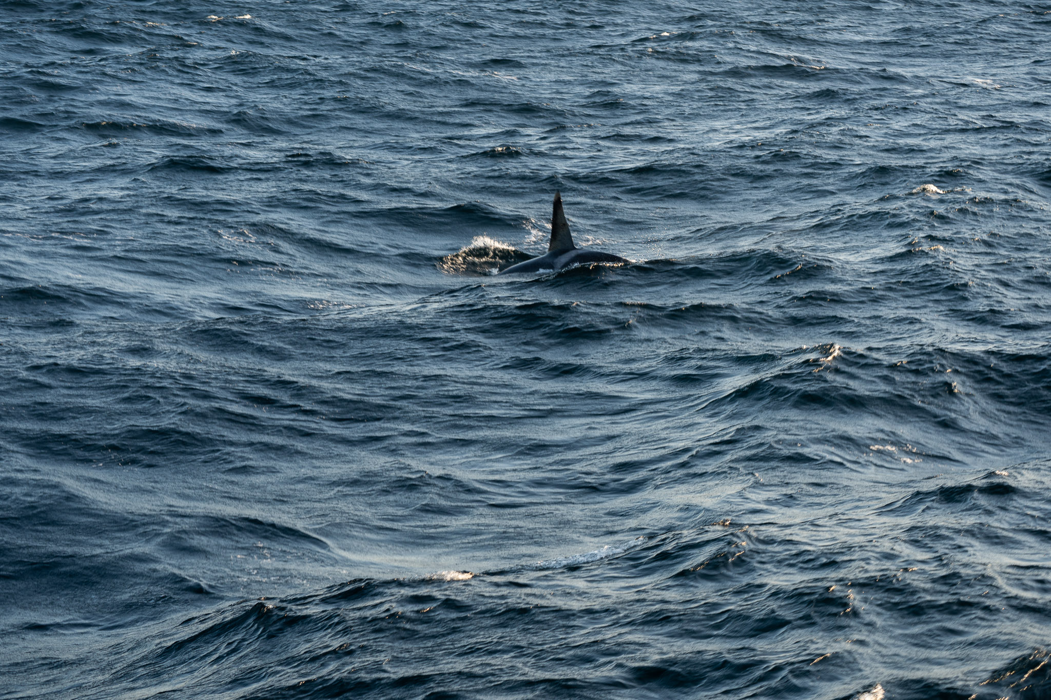 Ein Orca...