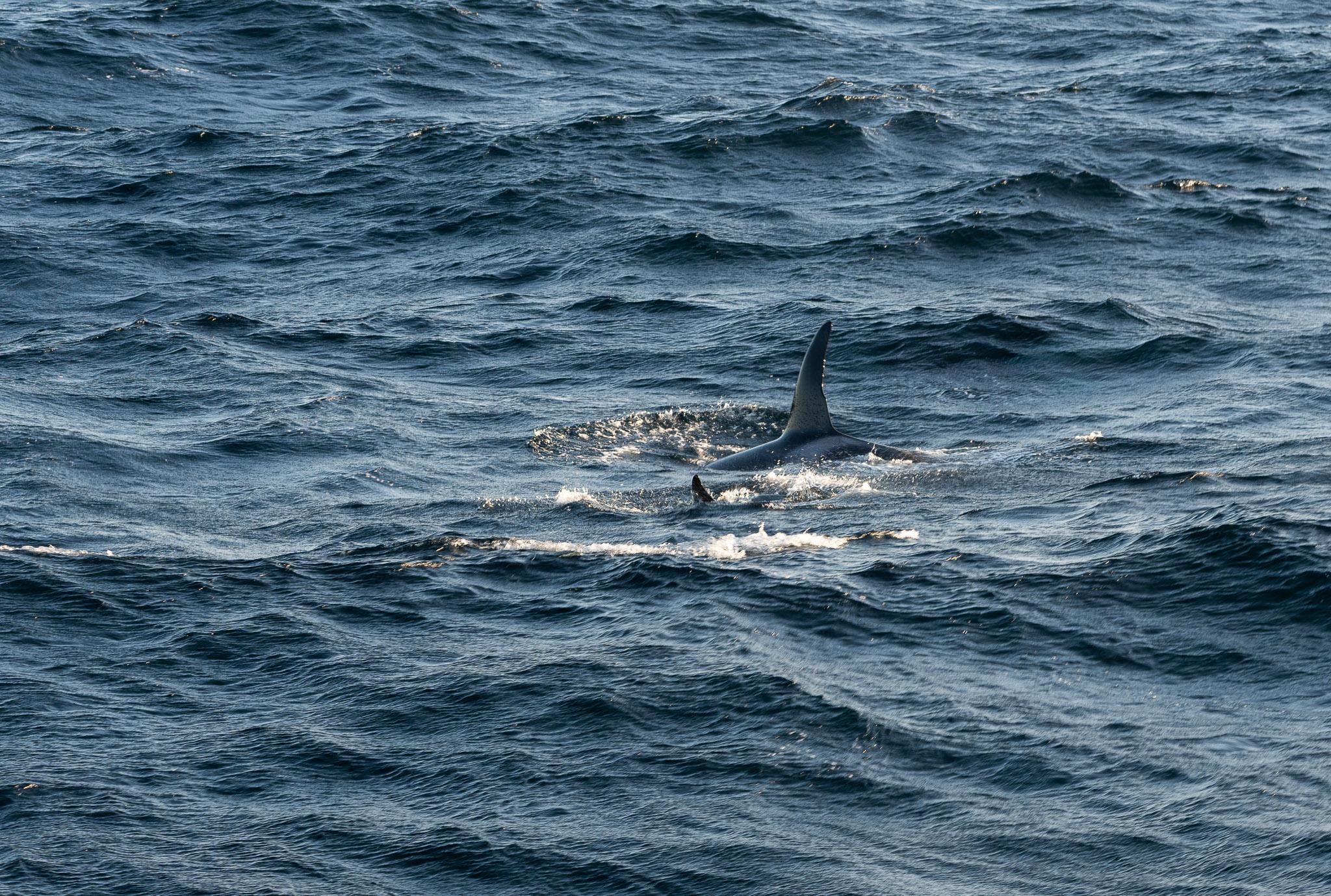 Zwei Orcas...