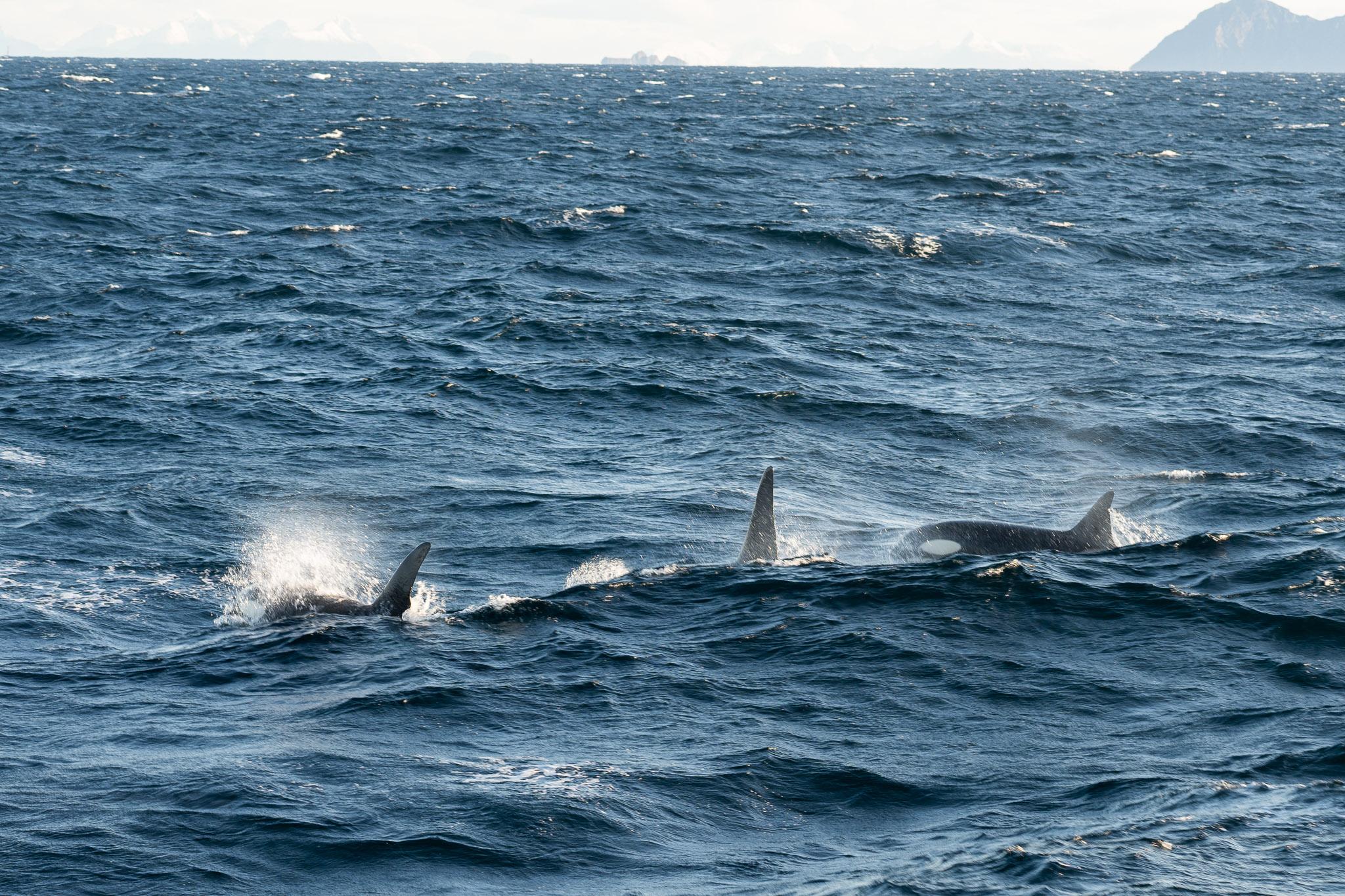 Drei Orcas!