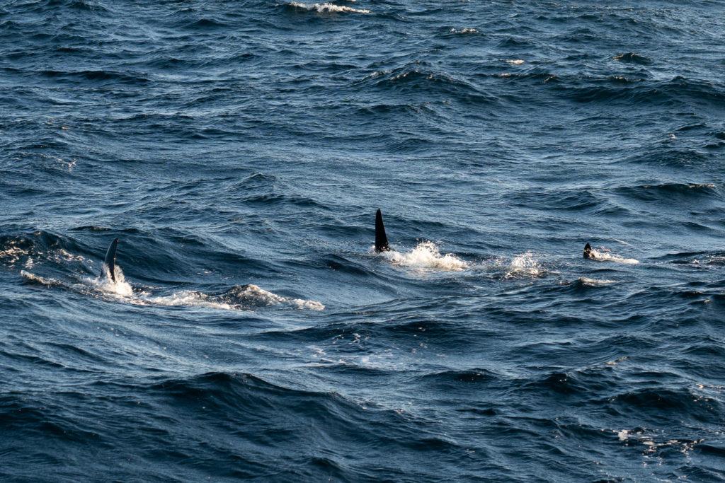 Drei schwarze Finnen im Meer