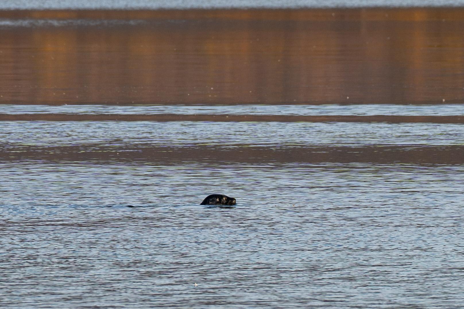Wohl Robbe (oder doch Otter?)