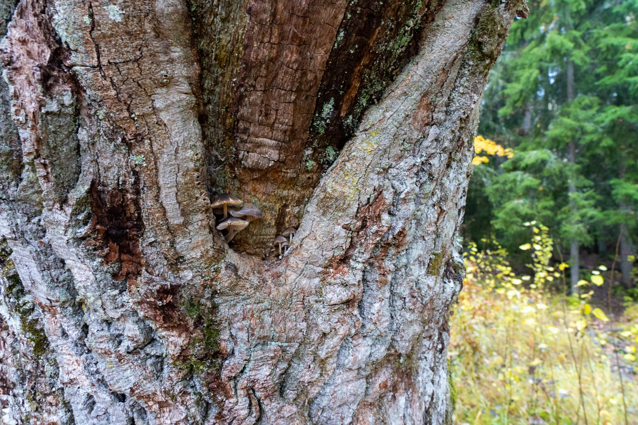 Pilzli auf Baum