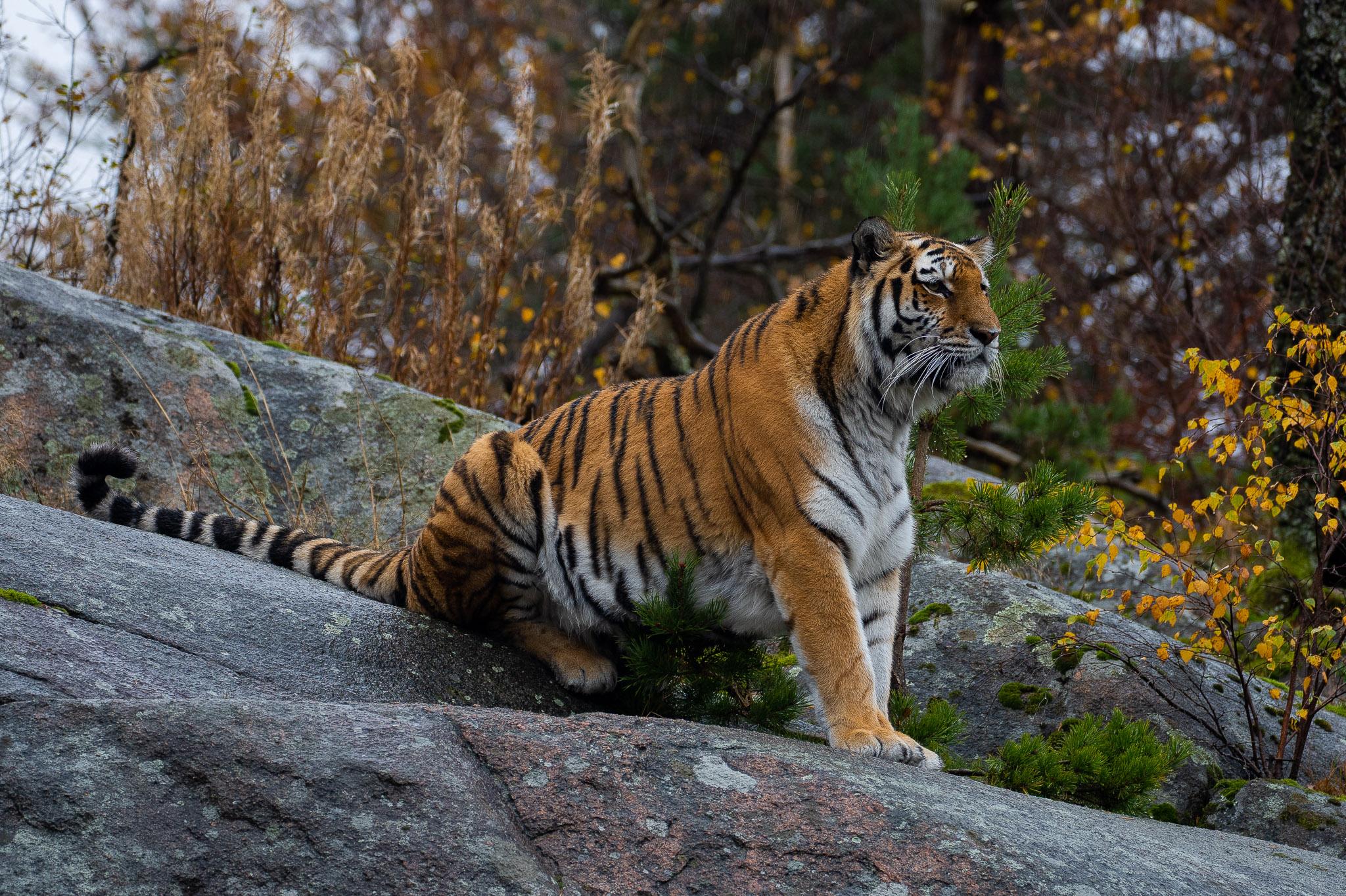 Mächtiges Tigerli